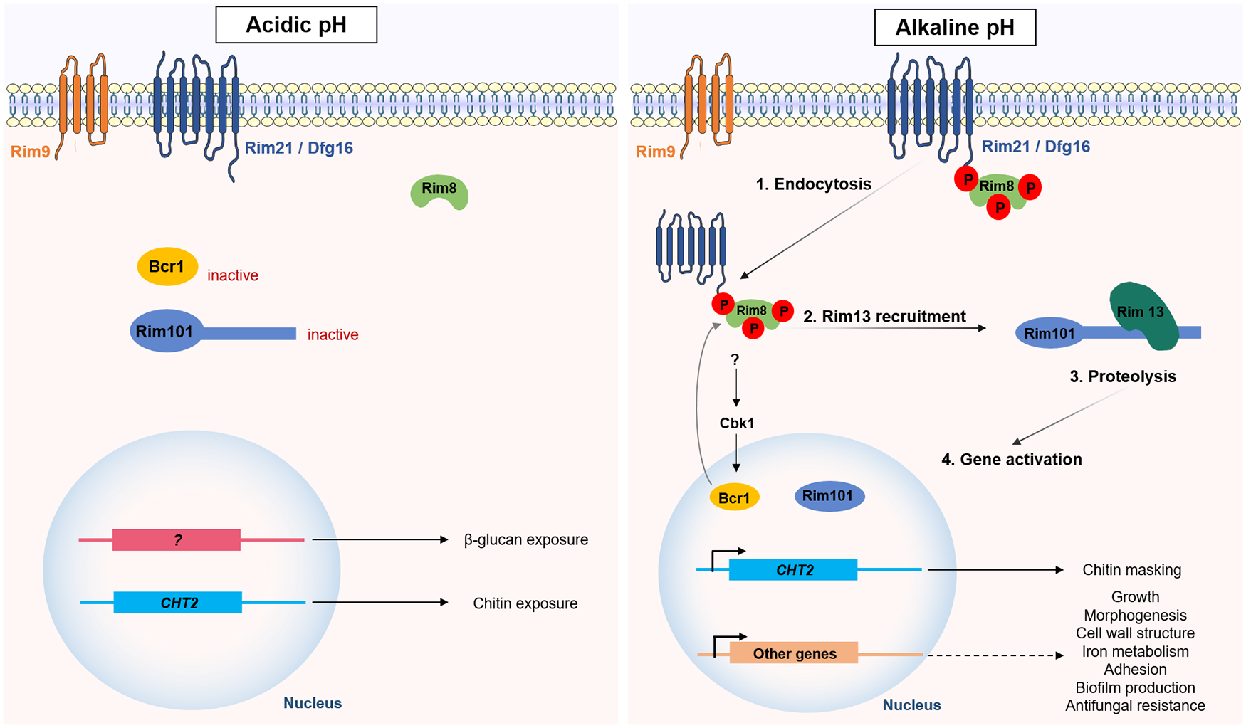 Adapting to survive: How Candida overcomes host-imposed constraints during human colonization